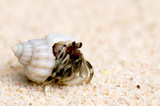 hermit crab on a sandy beach poster