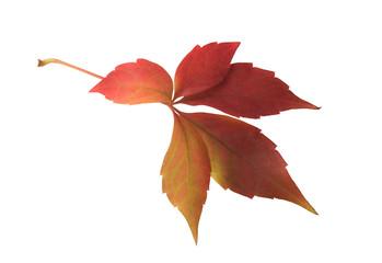 red grape autumn leaf
