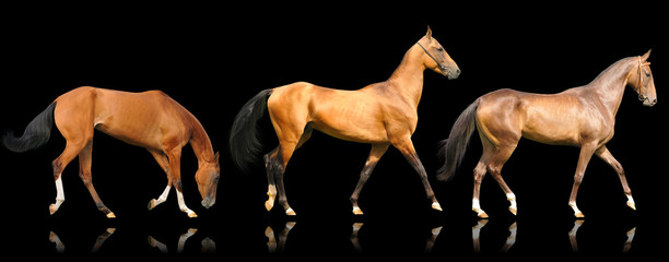 three akhal-teke horses isolated on black