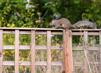 Squirrel on a garden fence