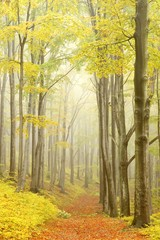 Beech trees in dense fog in the autumnal woods