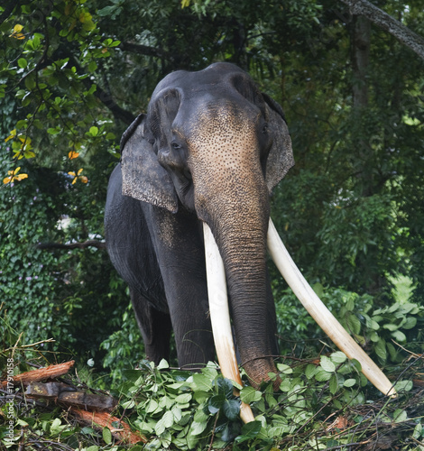 Asian Elephant with Massive Tusks