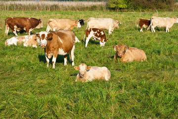 Rinderherde, cattle herd