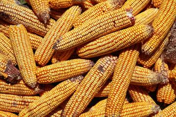 Drying Corn Cobs