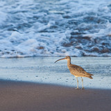 Eurasian Curlew bird walking in the surf of the ocean poster