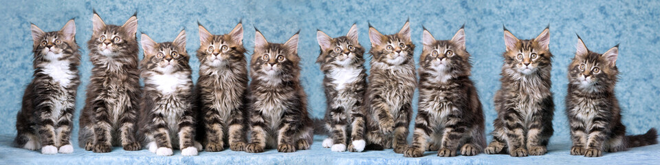 Composite panorama of 10 Maine Coon kittens on blue