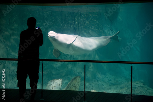 Beluga in aquarium