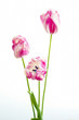pink and white tulips on white background