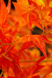 Fototapety beautiful red leaves. macro shot