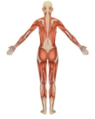 Female Muscular Anatomy Rear View