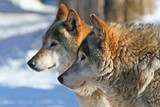 Grey wolves  (canis lupus) poster