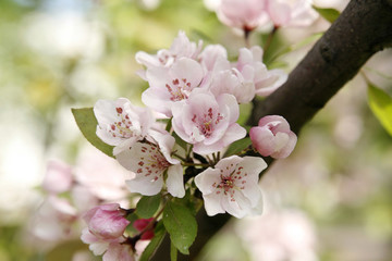 Gentle apple blossoms close-up
