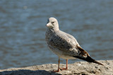A seagull rests on rocks waiting to scavenge some food .. poster