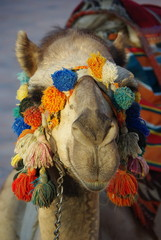 Head of camel with decorated harness