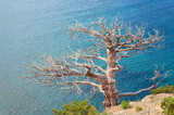 withered juniper tree on sea background poster