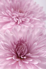 Flower of a chrysanthemum