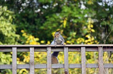 Grey Squirrel sitting on a garden fence