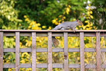 Grey Squirrel on a garden fence with a nut