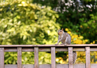 Grey Squirrel sitting on a garden fence