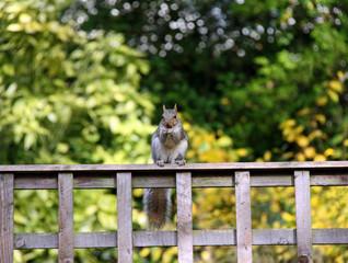 Grey Squirrel sitting on a garden fence eating a nut