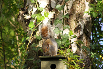 Grey Squirrel sitting on a bird box