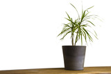 Pot plant on cupboard in front of white wall poster
