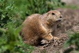 Prarie dog looking out of shelter poster