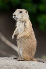 Standing prarie dog