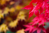 Colourful autumn acers with shallow focus