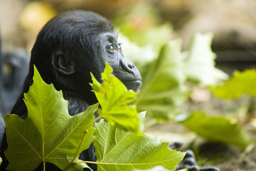 Hope for endangered gorilla