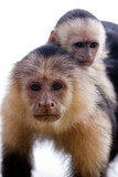 Capuchin monkey with youngster on her back poster