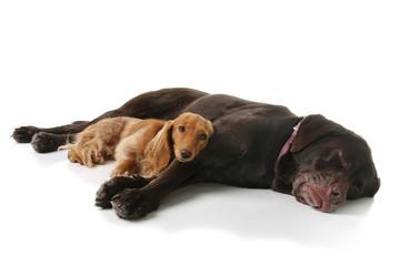 Sleepy dachshund and lab