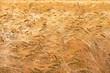 Leinwandbild Motiv Getreide im Sommerwind