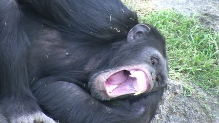 Chimpancé africano 2