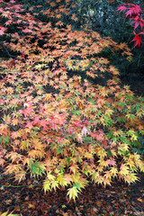 Multicoloured Acer leaves in Autumn
