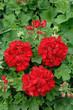 géranium lierre double rouge
