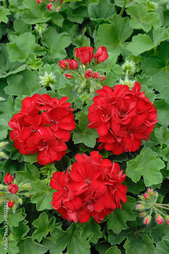 G ranium lierre double rouge de romaneau photo libre de - Geranium lierre double ...