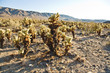 Schöner Cholla Kaktus Garten im Joshua Tree National Park