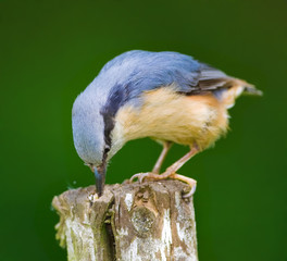 Nuthatch - the colored sparrow