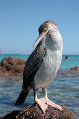 Cormorano corso