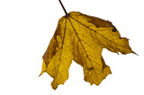 yellow autumn leaf backlit