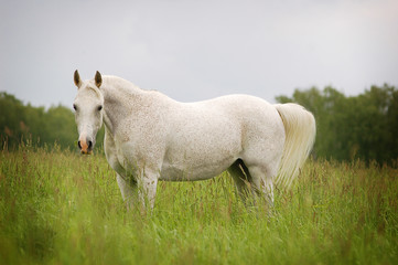 free beautiful arabian mare