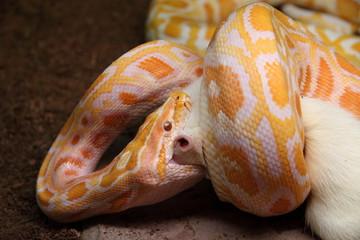 Python molurus bivittatus albino