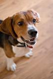 Purebred Beagle Dog poster