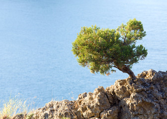 juniper tree on rock on sea surface background