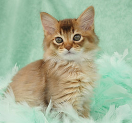 chocolate somali kitten in green feathers