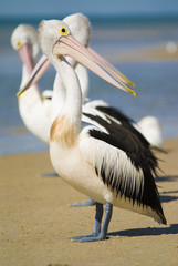 Pelicans on beach