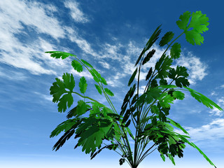 parsley on sky background