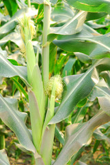 The ripe of sweet corn ready for harvesting.