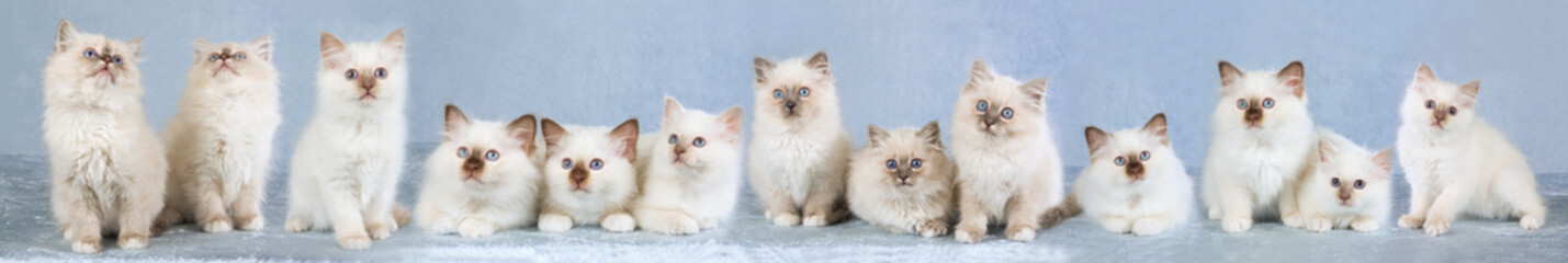 Composite panorama of 12 Birman kittens on blue